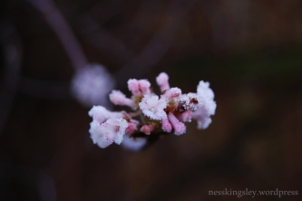 frostedflower